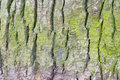 Green Spruce Bark Royalty Free Stock Images - 4927279