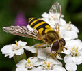 Hover Fly Royalty Free Stock Photography - 4929947