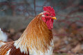 Rooster Royalty Free Stock Photo - 49218445