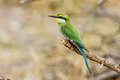 A Perched Swallow-tailed Bee-eater Stock Photo - 49226380