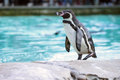 Humboldt Penguin Royalty Free Stock Image - 49233566