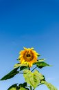 Sunflower Field Over Cloudy Blue Sky Royalty Free Stock Images - 49242169