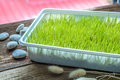 Freshly Grown Organic Wheat Grass Ready To Juice Stock Photography - 49258592