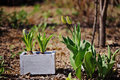 Hyacinth Bulbs In Wooden Box On Garden Bed In Sunny Spring Day Royalty Free Stock Photo - 49258655