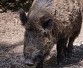 Adult Wild Boar Stock Photography - 49273432