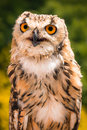 Portrait Of Indian Eagle Owl Royalty Free Stock Images - 49283899