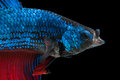 Beautiful Betta Splendens With Open Mouth  On Black Back Stock Image - 49307401