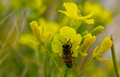 Bee On Flower Royalty Free Stock Images - 49316939