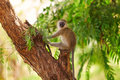 Vervet Monkey, Amboseli Stock Images - 49356854