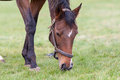 Pregnant Horse Eating Grass Royalty Free Stock Photography - 49382797