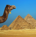 Camel In Front Of Pyramid In Egypt Royalty Free Stock Images - 49383089