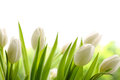 White Tulips Stock Images - 49394414