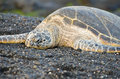 Hawaii Green Sea Turtle On Black Sand Beach Royalty Free Stock Photo - 49395405