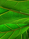 Green Leafs Royalty Free Stock Photo - 4943145