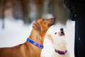 Rhodesian Ridgeback And Purebreed Dog Training Royalty Free Stock Photo - 49414435