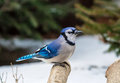 Bluejay On A Branch Stock Photos - 49417463
