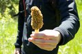Person Holding Freshly Picked Wild Morel Mushroom In Spring Royalty Free Stock Images - 49434419