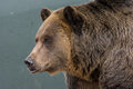 Grizzly Bear Royalty Free Stock Image - 49440196