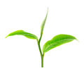 Green Tea Leaf Royalty Free Stock Photography - 49442097
