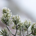 Pine Tree Closeup With Frost Royalty Free Stock Image - 49445286