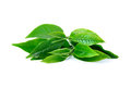 Green Tea Leaf Stock Photography - 49446132