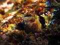 Horned Blenny Stock Image - 49448021