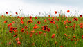 Field Of Red Wild Poppies Stock Photos - 49452513