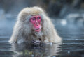 Snow Monkey Or Japanese Macaque In Hot Spring Onsen Stock Photo - 49453570