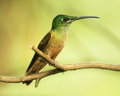 Colibri On A Twig Stock Photography - 49457652