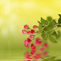 Floral Background: Roses Isolated Over Green Backdrop Along With Reflections In Wavy Water Surface. Stock Photos - 49465753