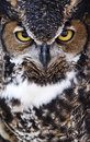 Great Horned Owl Stock Images - 49469904
