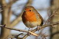 Robin Redbreast Royalty Free Stock Photography - 49476847