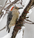 Red-bellied Woodpecker Female Stock Images - 49482434