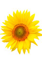 Sunflower Stock Image - 49483041