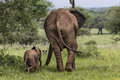 Mother And Baby African Elephants Walking In Savannah In The Tar Royalty Free Stock Image - 49503616