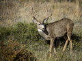 White Tail Deer Buck Royalty Free Stock Images - 49517389