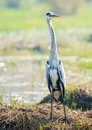 Grey Heron Royalty Free Stock Photo - 49518855