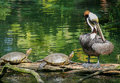 Pair Of Turtles And A Pelican Stock Photography - 49526562