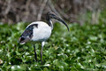 Sacred Ibis Stock Images - 49536024
