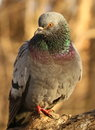 Pigeon Stock Images - 49548184