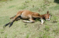 Young Colt Laying In Pasture Royalty Free Stock Photo - 49572155
