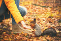 Squirrel Eating Nuts From Woman Hand And Autumn Leaves On Background Wild Nature Royalty Free Stock Photography - 49579617