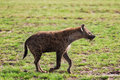 Spotted Hyena Stock Images - 49591134