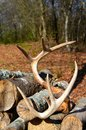 Antlers Resting On A Stack Of Firewood Stock Photography - 49595702