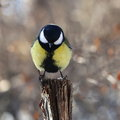Great Tit Stock Images - 49601744