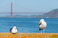 Seagull Near Golden Gate Bridge Royalty Free Stock Photo - 49609045