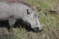 Warthog (Common Warthog) Feeding. Delta Okavango, Royalty Free Stock Photo - 49614995