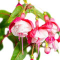 Beautiful Red And White Fuchsia Flower Is Isolated On The White Stock Image - 49647041