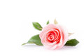 Pink Rose Flower Royalty Free Stock Photo - 49656545