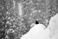 Crow In Winter Snowfall Stock Photos - 49685083